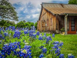Barn & Bluebonnets